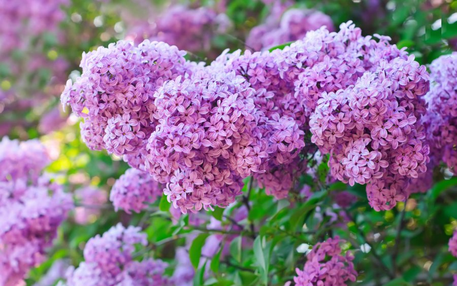 spring-lilac-bush