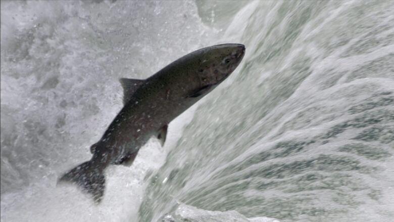 -chinook-salmon