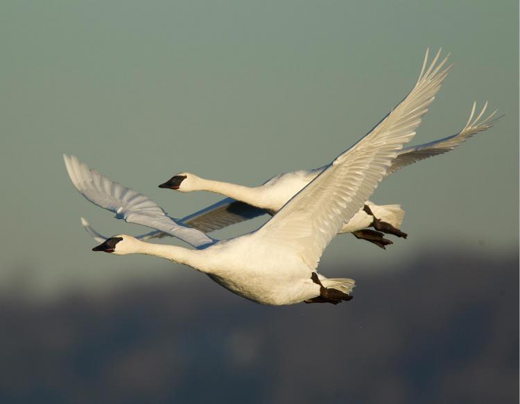 trumpeter_swans