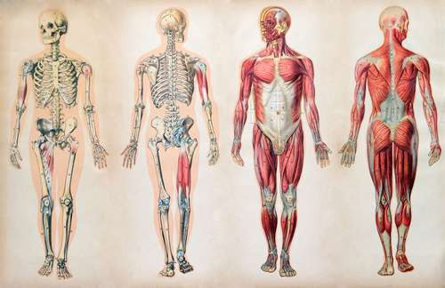 anatomy-charts-human-body